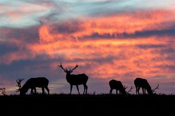 nature wildlife landscape elk sunset