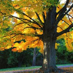 kingcollectionfor seasons fall tree dpcfallfeels pctrees pcgoldenyellow