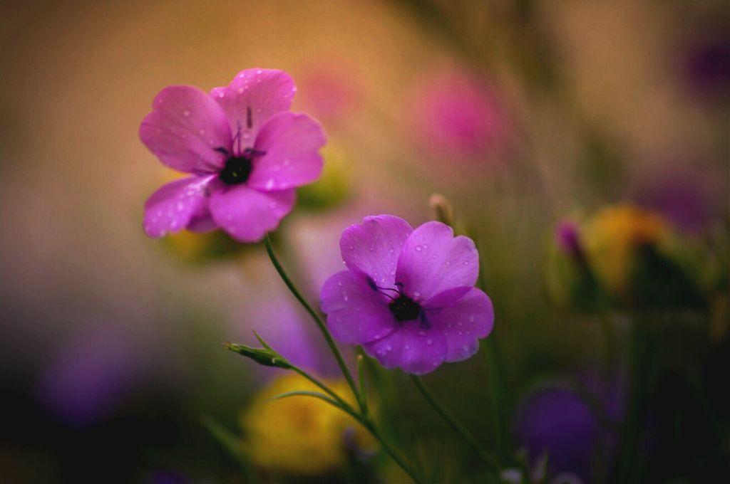 #flower #colorful #photography #nature #macro #macroflower #macro_photography #flowers #flower_collection #flowercollection #bokeh #beautiful #closeup   #artisicmacro #artisticflower  #autumn  #garden  #plantsandflowers