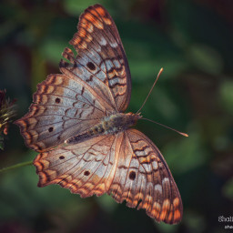 butterfly insect animal nature natureaddict