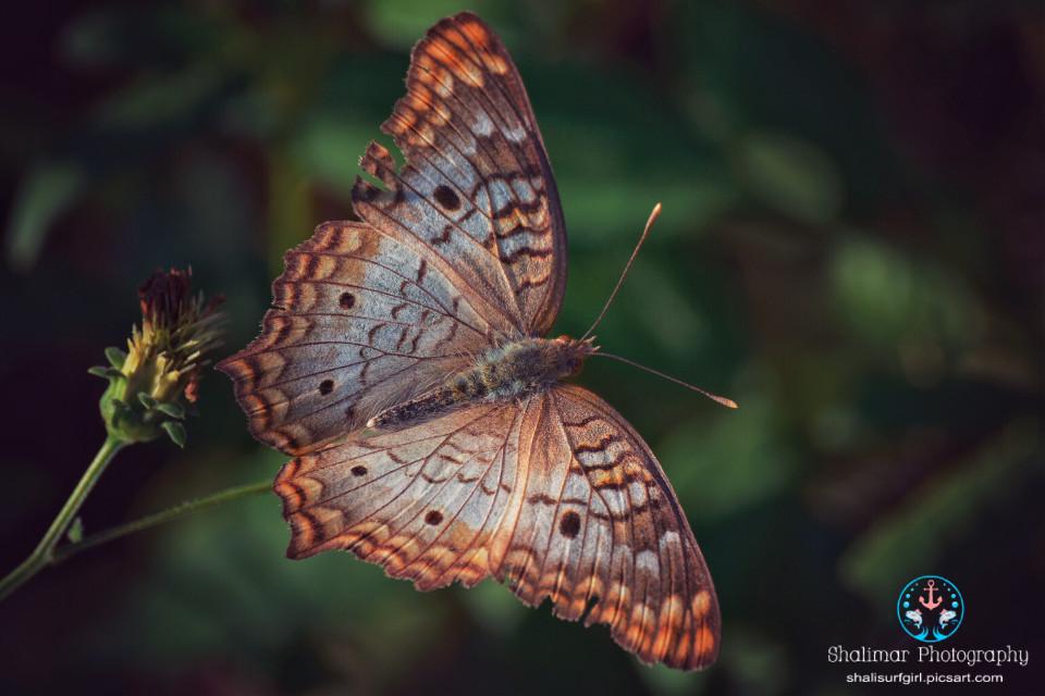 #butterfly #insect #animal    #nature #natureaddict #natural #photography #nikonphotographers #nikond5200 #nikonistas #nikonnofilter