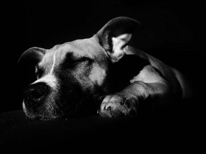 Sleeping #blackandwhite #emotions #dog #freetoedit #photography