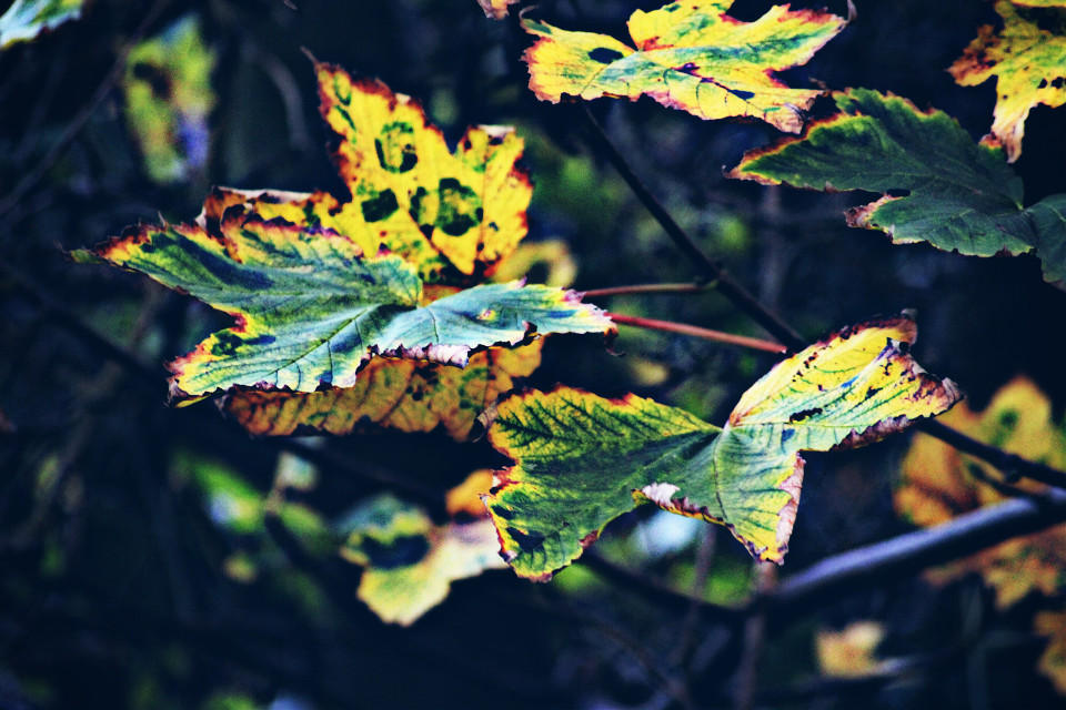 #nature   #colorful #leaves #autumn #hdr #dodger  #photography