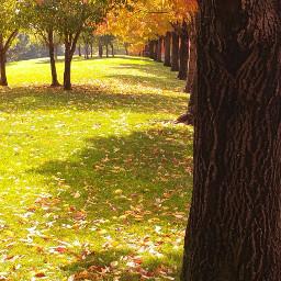 rowoftrees fall fallcolors mapletrees