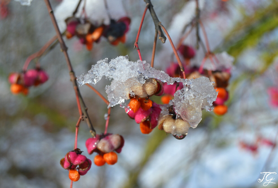 #colorful #flower #nature #photography #snow #winter #nikon  #cold