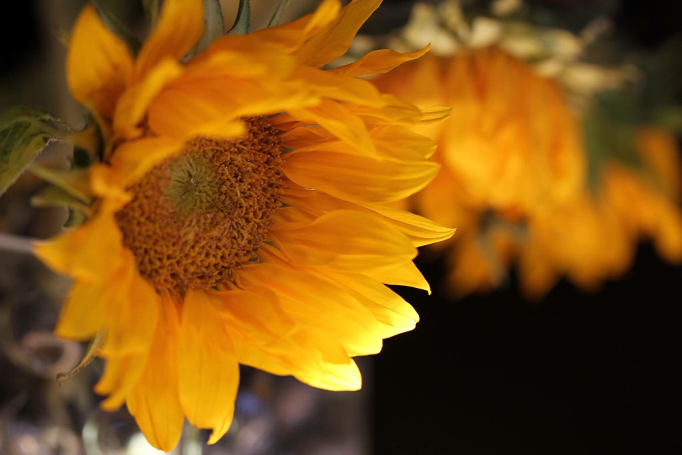 #gold #sunflowers #sunflower #flower #flowers #featured