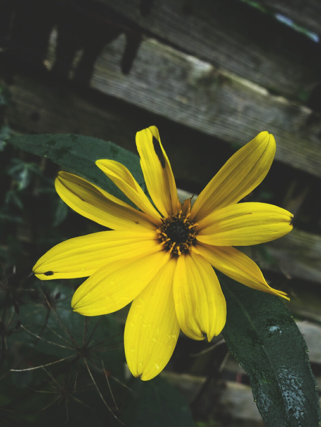 #photography #nature #flower  #yellow  #dramaeffect