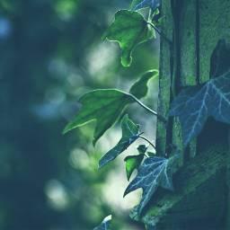 nature ivy adjusttool vintage dodger photography