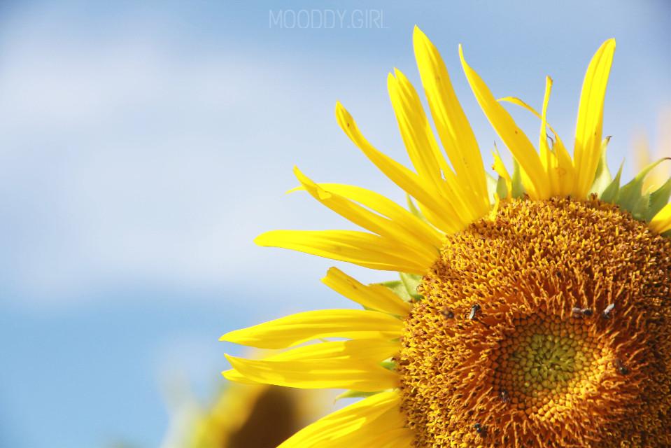 #flower #sunflower #yellow #blue #sky #bluesky #flowerlovers