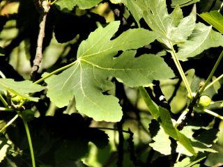 green leaves croaria