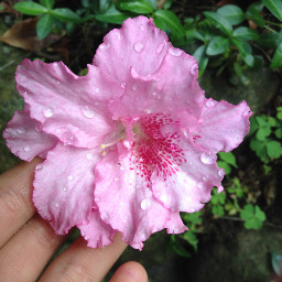 flower raindrops beautiful pink persepective