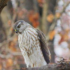 hawk birds wildlife nature winter