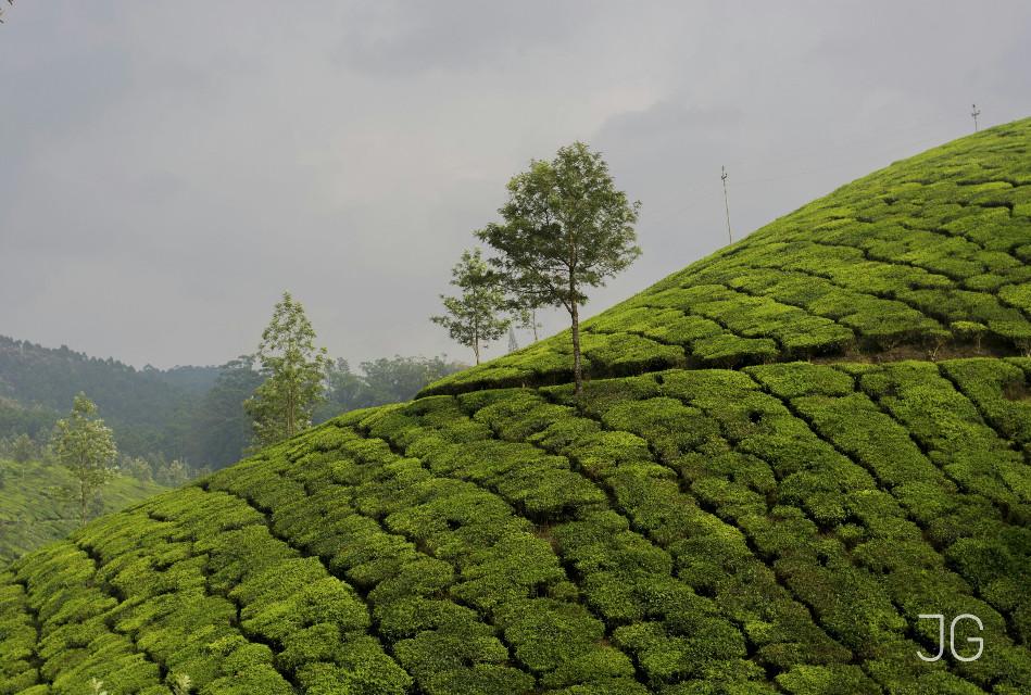 Green tea .......:-)  #photography  #tea garden