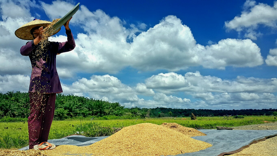 Berdaulatlah wahai petani. Jika tambang dan sawit merampas tanah kalian untuk bercocok-tanam maka lawanlah. Ketahanan pangan ada di tangan kalian. Panjang umurlah perjuangan.   #freetoedit #photography #nature
