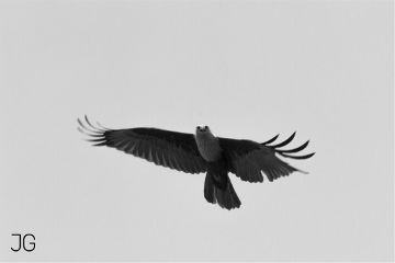 blackandwhite photography eagle