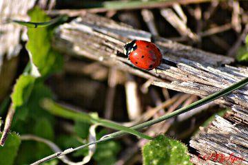 ladybug nature redandgreen photography