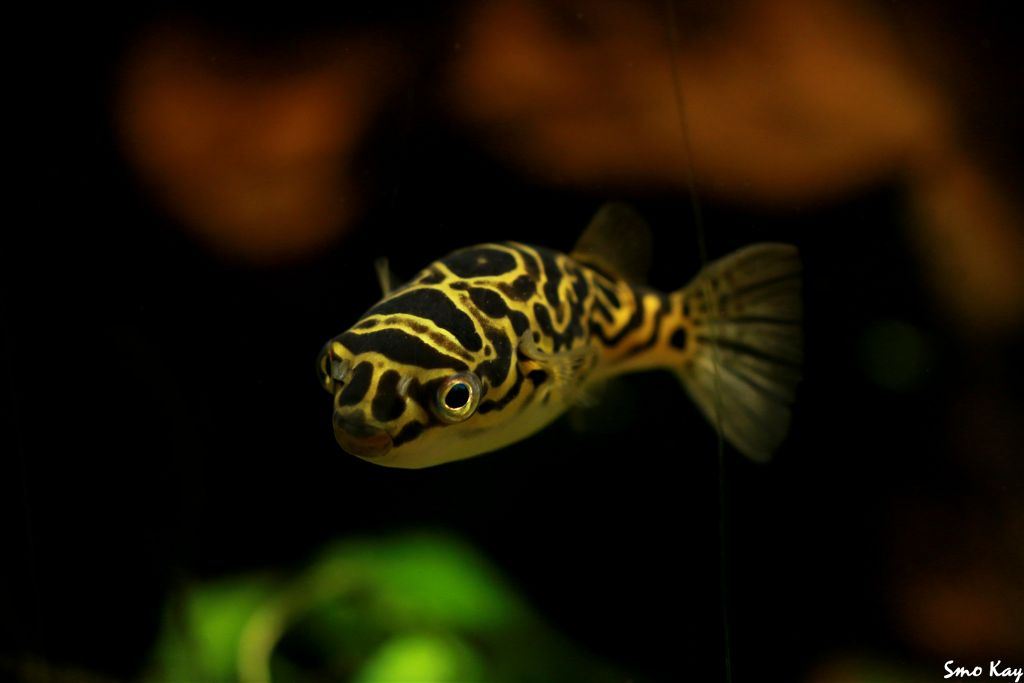 #blowfish #photography #nature #petsandanimals #animals #zoo #underwater #cute