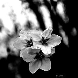 blackandwhite flower nature