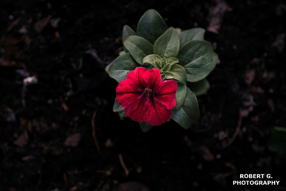 #flower #FreeToEdit #red