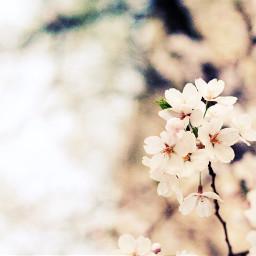 cherryblossom flower spring