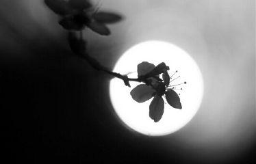 blackandwhite photography spring flower