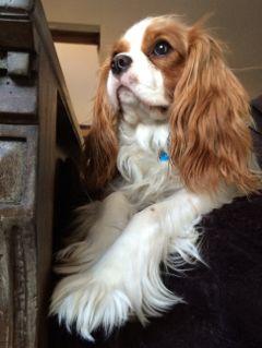 dogs pets natural cavalier kingcharlescavalier