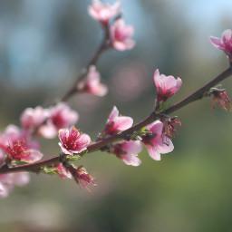 plumblossom flower naturephotography
