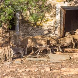 sheep farm animal farming southafrica