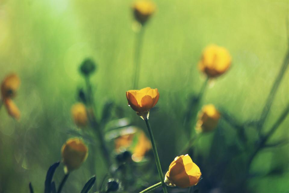 Beautiful buttercups #nature #flower #spring #outandabout #lightmask #dodger #photography