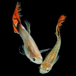 freetoedit nature petsandanimals photography fish