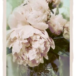 peonies flowers love kindness sweetness
