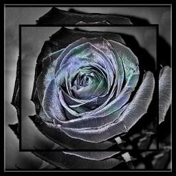frame rose flower spring blackandwhite