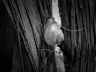 blackandwhite nature photography snail