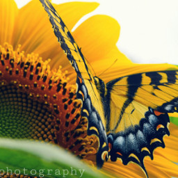 nature butterfly freetoedit sunflower summer