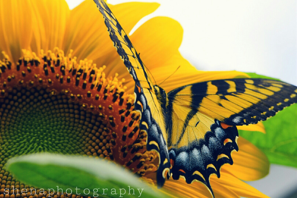 If you never stretched your wings, how do you know you can't fly? 💭 #nature #butterfly  #FreeToEdit #sunflower #summer #beauty #photography #yellow #colorful