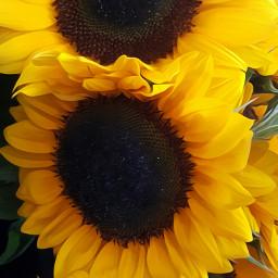 sunflowers mygardenflowers mygardenqueen nature naturephotography