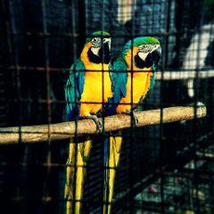 birds parrots colourful freetoedit fx