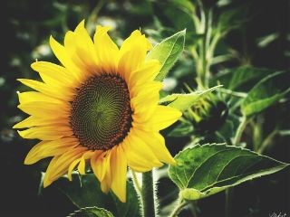 sunflower yellowflower summertime summer august