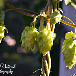 hops beer craftbeer nature photography