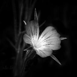 flower blackandwhite closeup