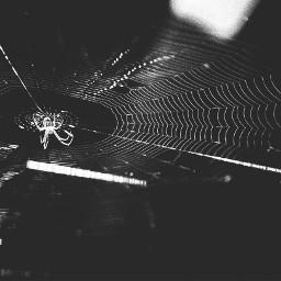 spider web zoo blackandwhite