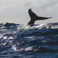 whale humpbackwhale