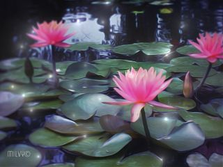 waterlilies nymphaea flower nature pond